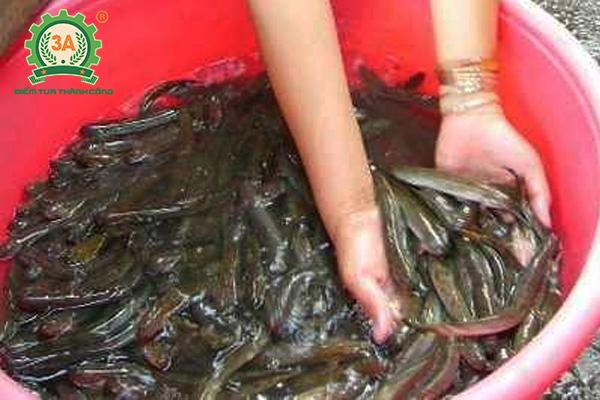 Nuôi cá trê trong bể xi măng: Chọn giống