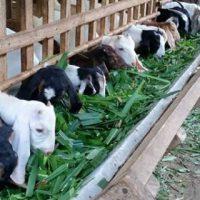 Thức ăn cho dê nuôi nhốt: Thức ăn thô xanh