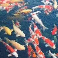 Cách nuôi cá Koi: Đàn cá Koi Nhật Bản