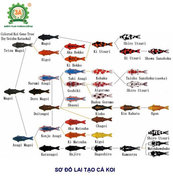 Cách nuôi cá Koi: Sơ đồ lai tạo cá Koi