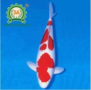 Cách nuôi cá Koi: Koi Kohaku