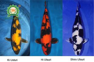 Cách nuôi cá Koi: Koi Taisho Sanke: Koi Utsuri