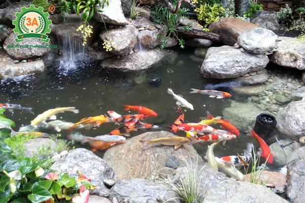 Cách nuôi cá Koi: Chuẩn bị hồ nuôi cá Koi