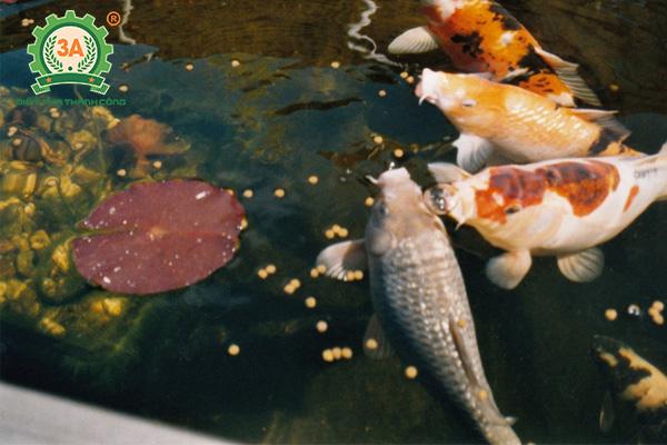 Cách nuôi cá Koi: Cho cá ăn vừa đủ