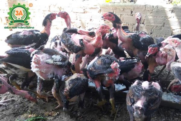 cách nuôi gà chọi con (10)