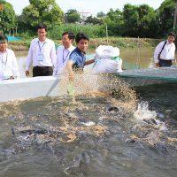 Kỹ thuật nuôi cá quả miền bắc: Cho cá ăn cám viên nổi