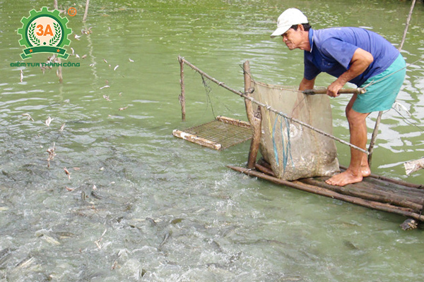 Kỹ thuật nuôi cá quả Miền Bắc: Nuôi trong ao đất