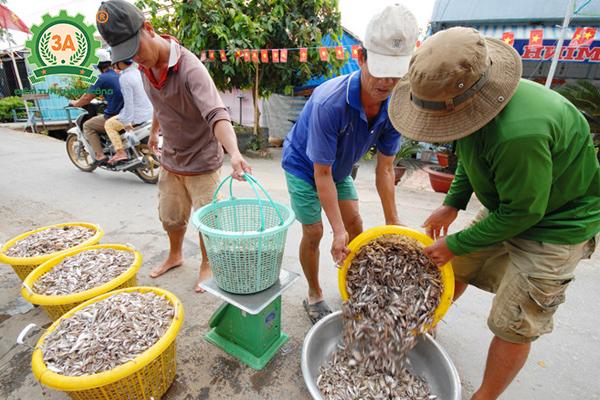 Kỹ thuật nuôi cá quả Miền Bắc: Thu mua cá tạp làm thức ăn cho cá quả