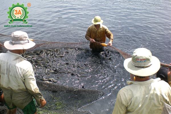 Kỹ thuật nuôi cá quả Miền Bắc: Thu hoạch cá quả