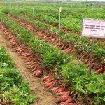 Cách trồng khoai lang đúng kỹ thuật cho năng suất bội thu