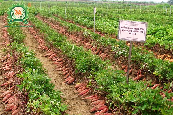 Cách trồng khoai lang (01)