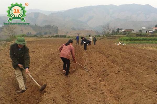 Cách trồng khoai lang (04)