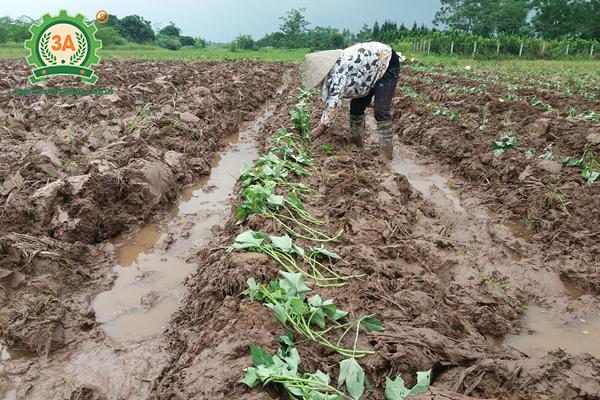Cách trồng khoai lang (05)