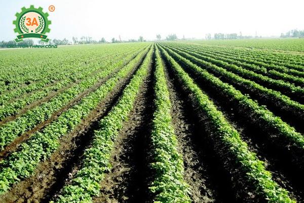 Cách trồng khoai lang (06)