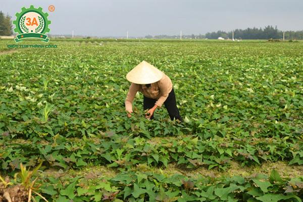 Cách trồng khoai lang (07)