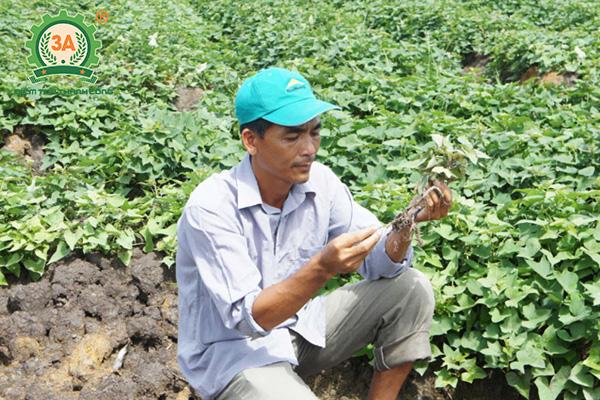 Cách trồng khoai lang (08)