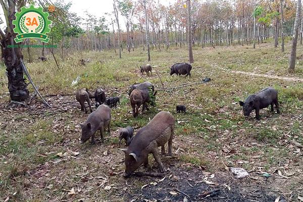 Chuồng trại chăn nuôi lợn rừng (02)