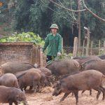 Hướng dẫn làm chuồng trại chăn nuôi lợn rừng đúng kỹ thuật, nhân đôi hiệu quả kinh tế