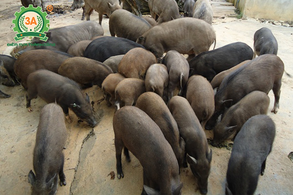 Chuồng trại chăn nuôi lợn rừng (05)