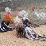 Làm chuồng nuôi gà tre đơn giản, đúng yêu cầu kỹ thuật