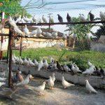 Hướng dẫn làm chuồng chim bồ câu chi tiết