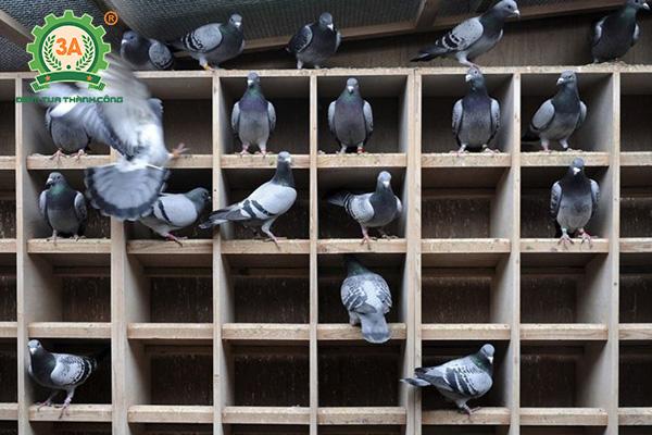 Chuồng chim bồ câu (04)