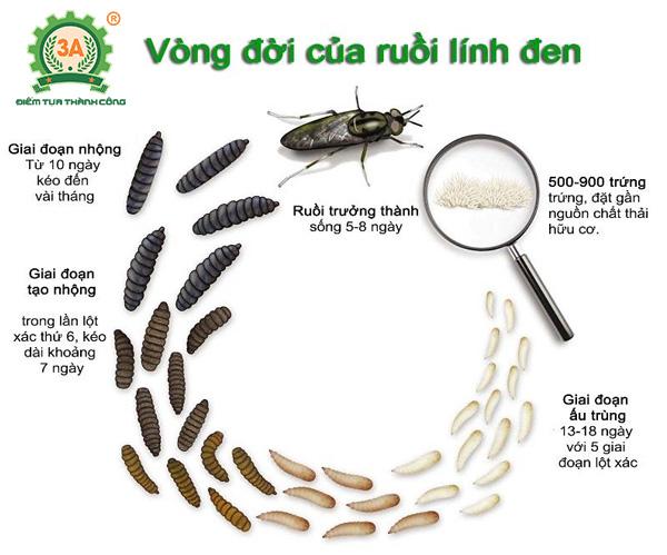 Kỹ thuật nuôi ruồi lính đen (03)