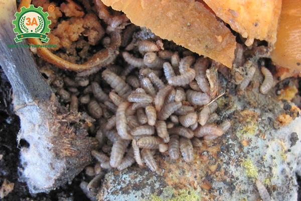 Ấu trùng ruồi lính đen xử lý chất thải hữu cơ