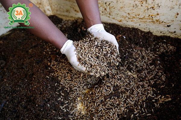 Kỹ thuật nuôi ruồi lính đen (12)