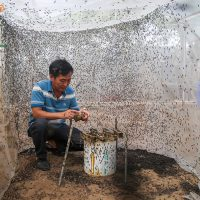 Kỹ thuật nuôi ruồi lính đen (13)
