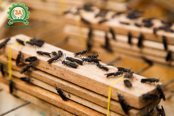 Kỹ thuật nuôi ruồi lính đen (14)