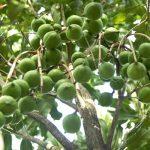 Trọn bộ kỹ thuật trồng cây mắc ca: chọn giống, cách trồng, chăm sóc, thu hoạch
