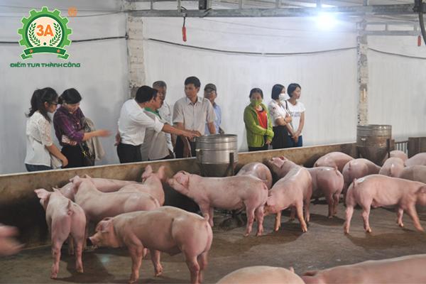 Tham quan một mô hình nuôi lợn sạch hướng hữu cơ