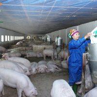 Nuôi lợn sạch theo tiêu chuẩn VietGap tại Vĩnh Phúc