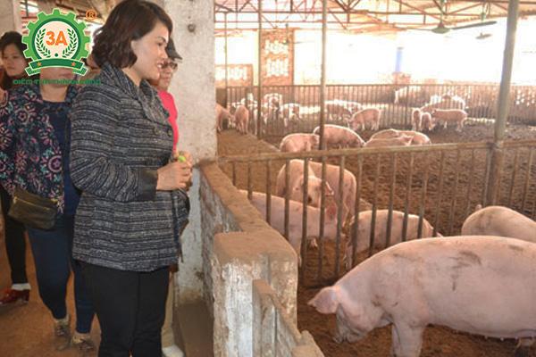 Nuôi lợn sạch sử dụng chế phẩm sinh học EM tại Sóc Sơn