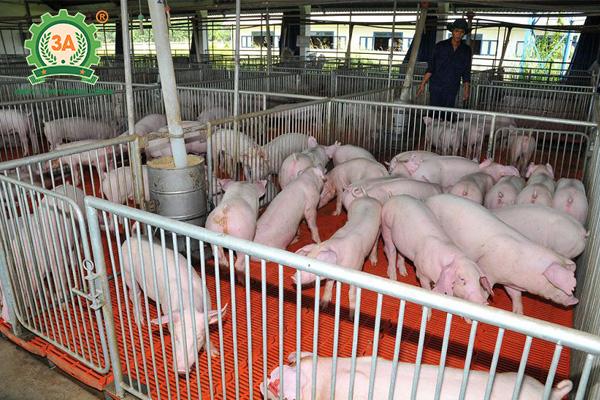 Thiết kế chuồng trại nuôi lợn sạch