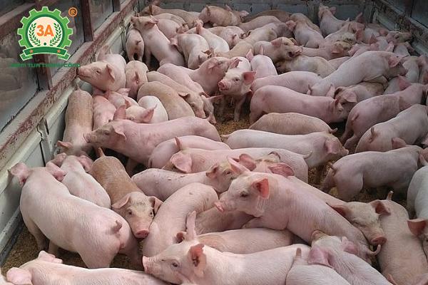 Lựa chọn lợn giống nuôi lợn sạch
