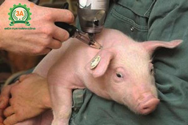 Nuôi lợn sạch cần chú ý tuân thủ tiêm phòng đầy đủ