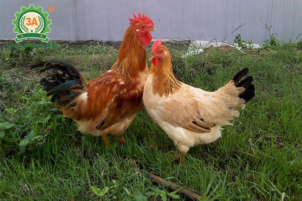 Giống gà thịt ngon nhất (01)