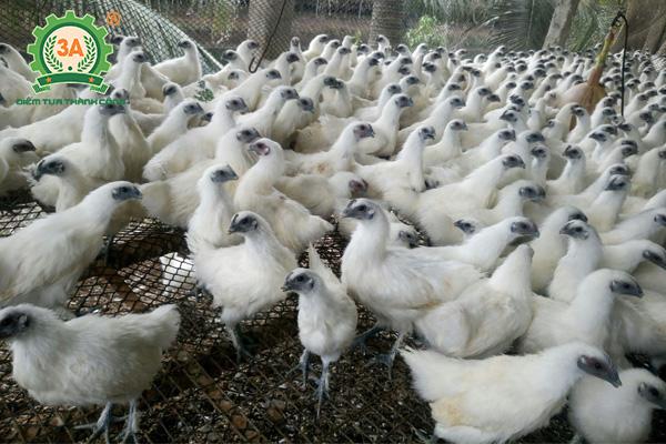 Giống gà thịt ngon nhất (04)