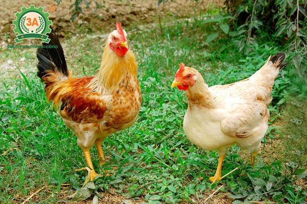 Giống gà thịt ngon nhất (05)