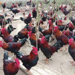 Top 10 giống gà thịt ngon nhất hiện nay