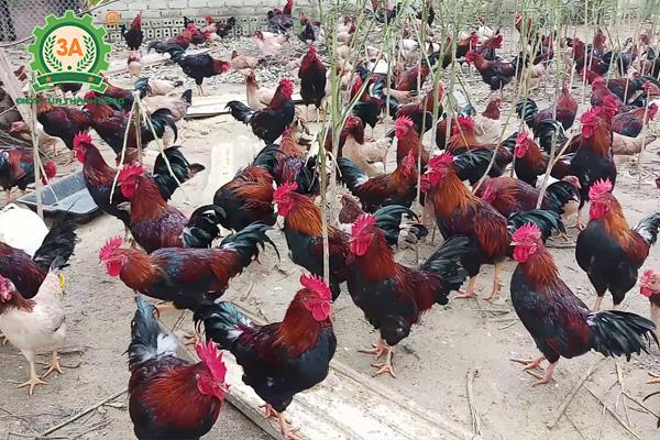 Giống gà thịt ngon nhất (07)