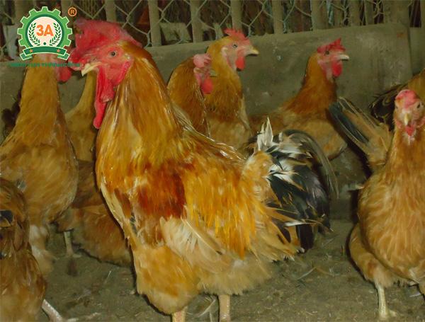 Giống gà thịt ngon nhất (09)