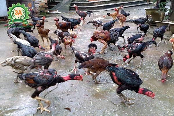 Giống gà thịt ngon nhất (10)
