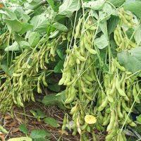 Kỹ thuật trồng đậu tương (01)