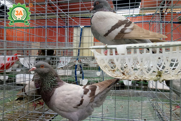 Dấu hiệu bồ câu sắp đẻ trứng (02)