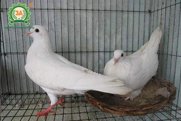 Dấu hiệu bồ câu sắp đẻ trứng (04)