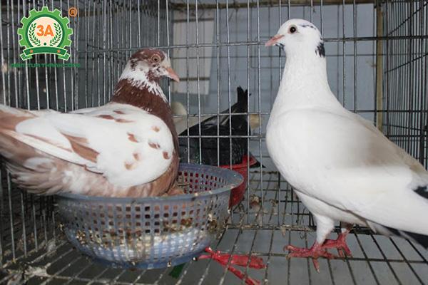 Dấu hiệu bồ câu sắp đẻ trứng (05)