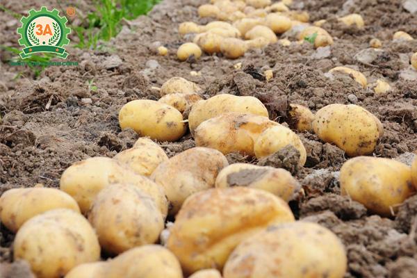 Kỹ thuật trồng khoai tây (01)